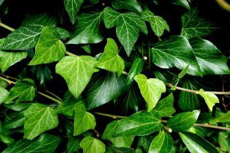 Efeu- Pflanzen