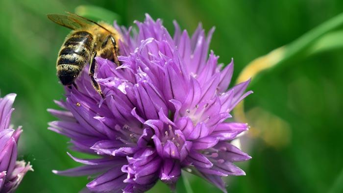 Biene auf Schnittlauch