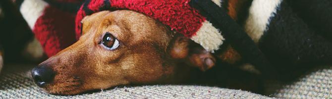 Hund unter Decke